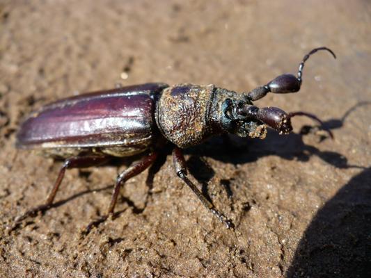 long-horned-beetle-1-1.jpg