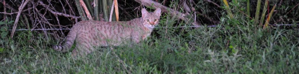wildcat-1024x256-1.jpg