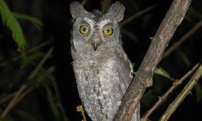 scops-owl-1.jpg