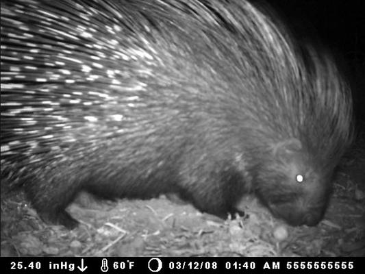 porcupine-1.jpg