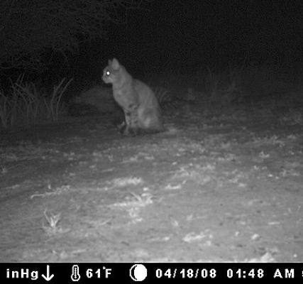 wild-cat-1.jpg
