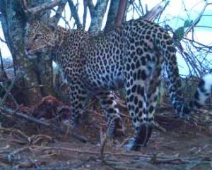 leopard1-300x241-1.jpg