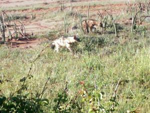 aardwolves-300x226-1.jpg