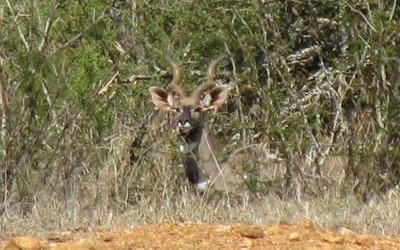 kudu_lesser-400x250.jpg