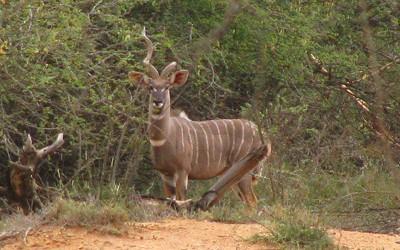 lesser_kudu3-400x250.jpg