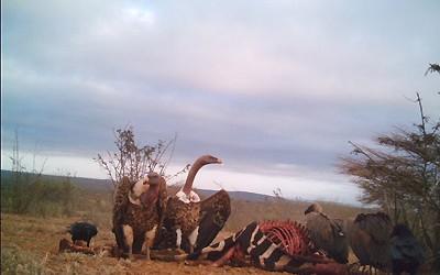 vultures3-400x250.jpg
