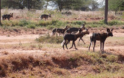 wild-dogs-pic_small1-400x250.jpg