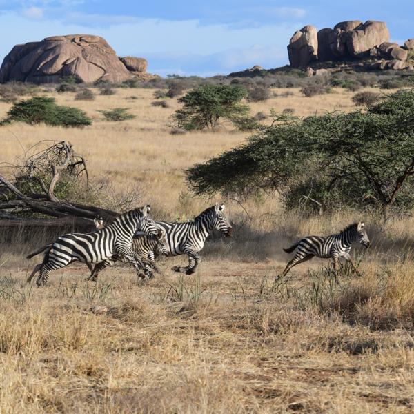 zebrasandrocks.jpg
