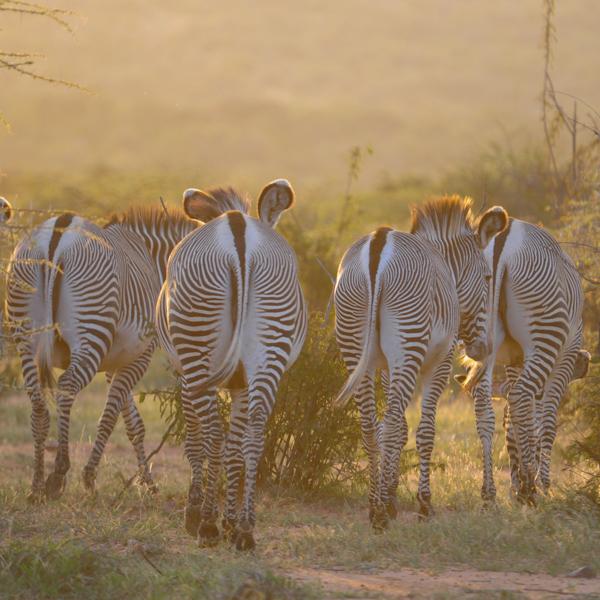 grevys zebras2.jpg