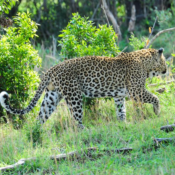 leopard-1.jpg