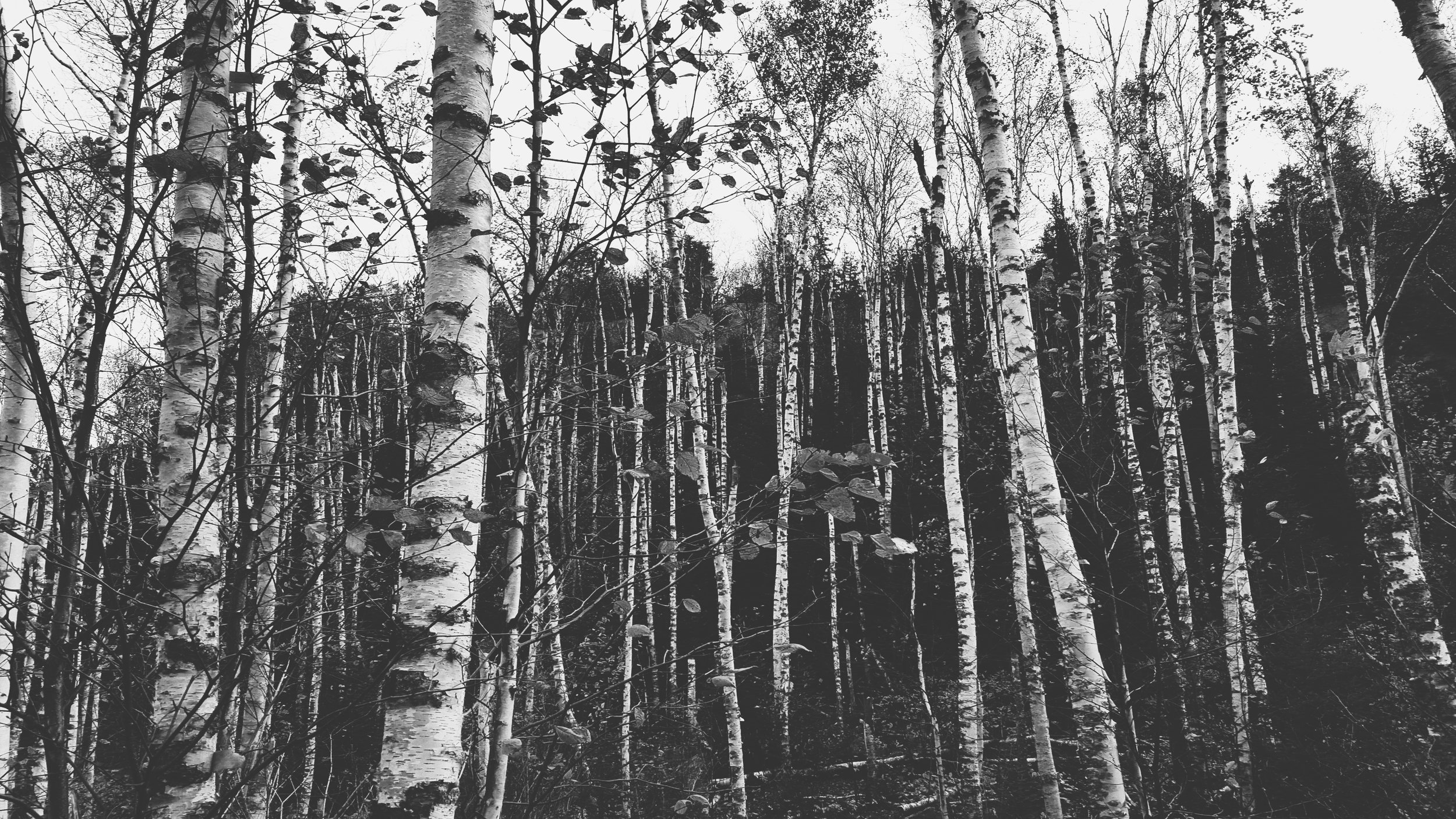 birches b&w.jpg