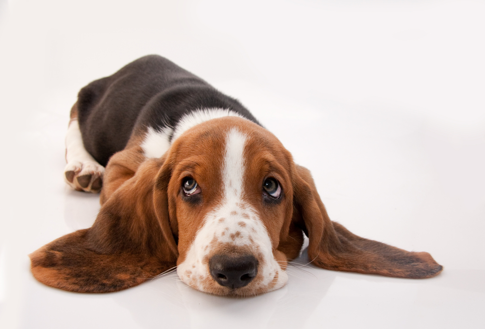 Basset hound3.jpg
