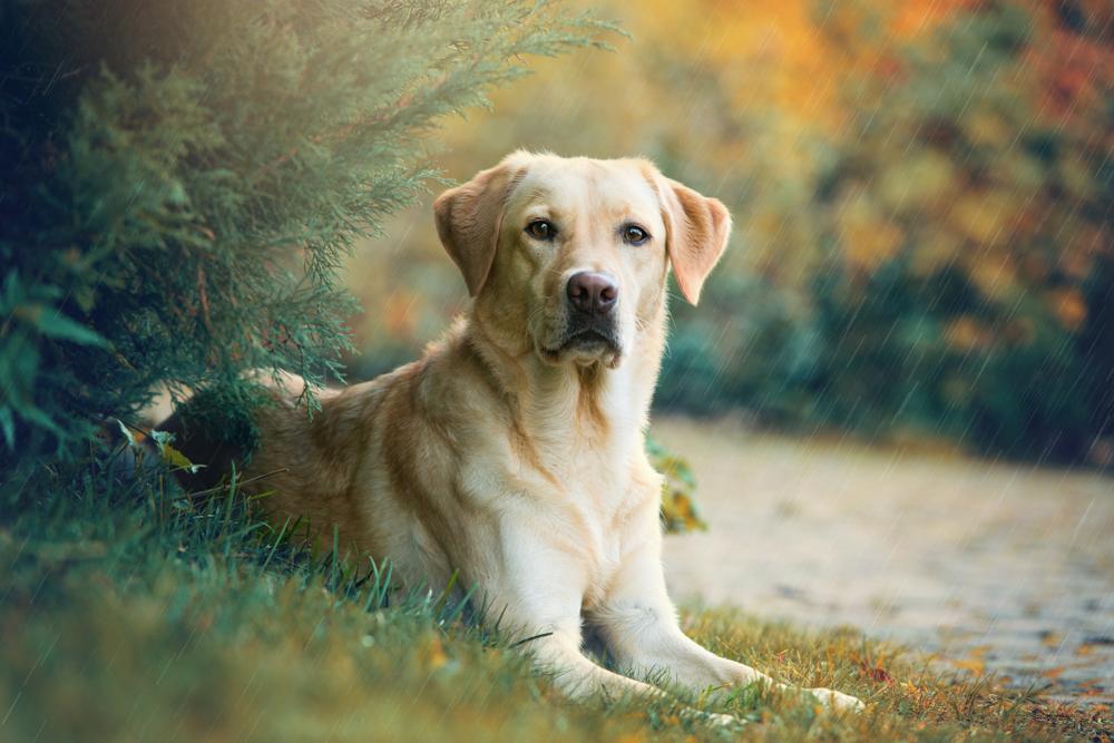 Labrador Retriever1.jpg