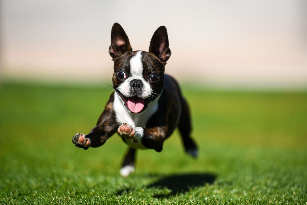 Boston Terrier1.jpg