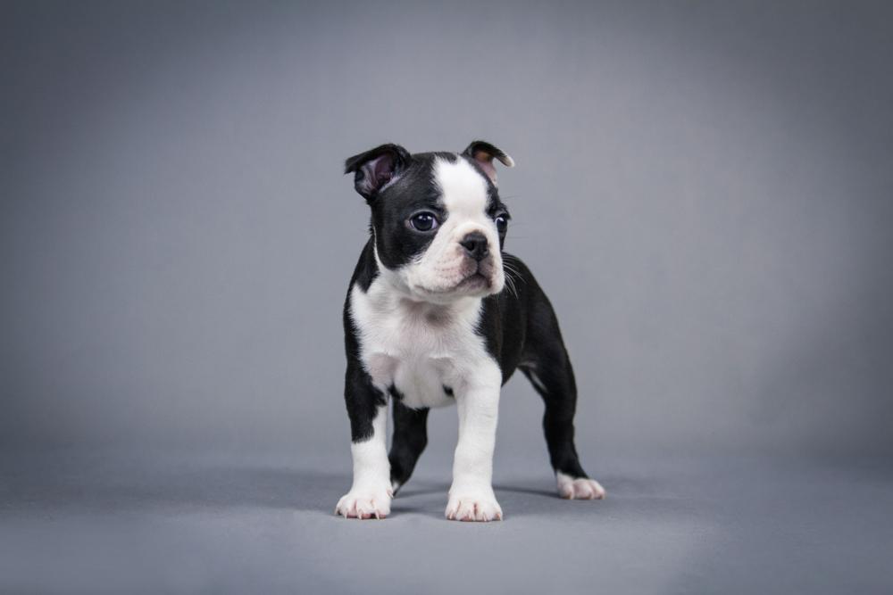 Boston Terrier2.jpg