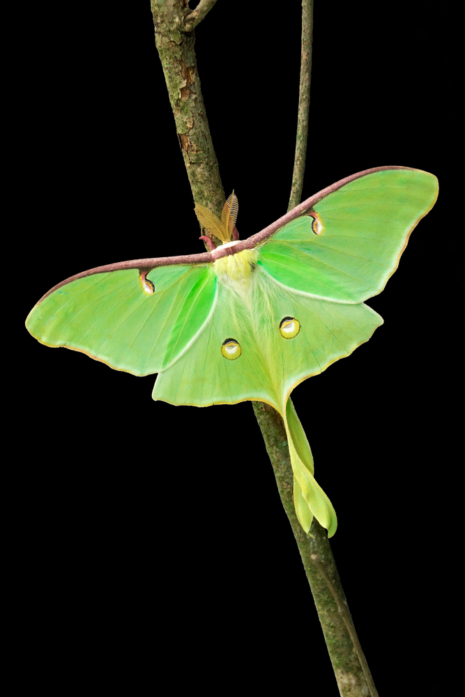 luna moth_15 facts.jpg