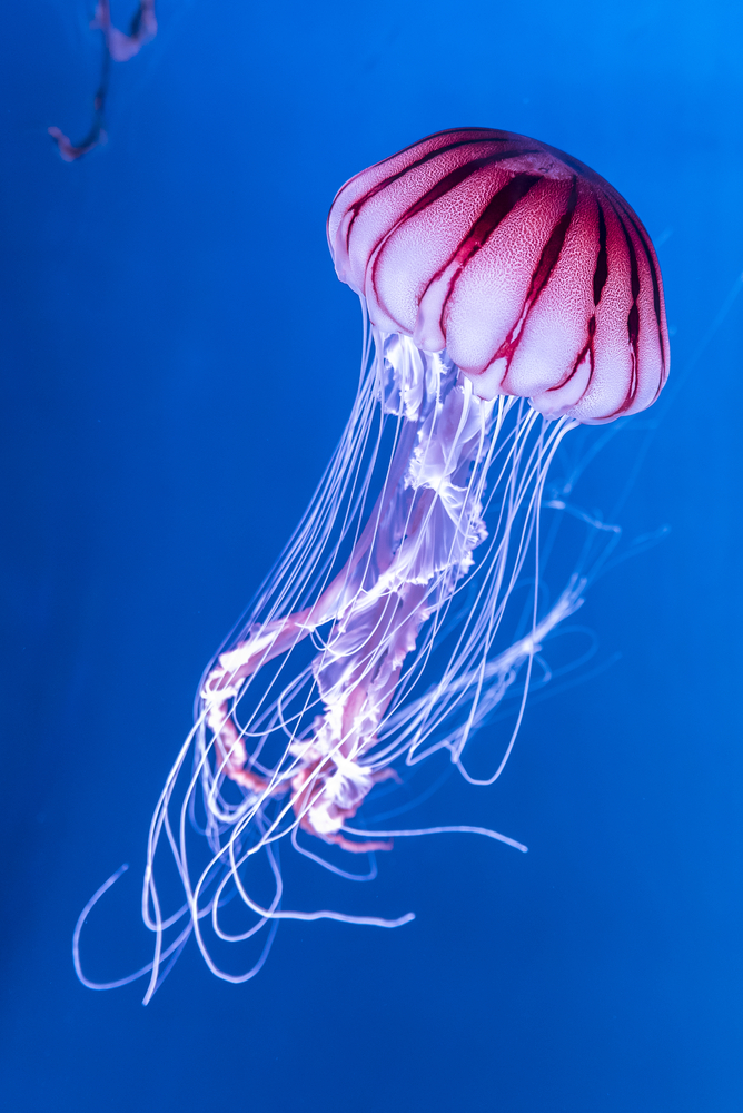 jellyfish_15 facts.jpg