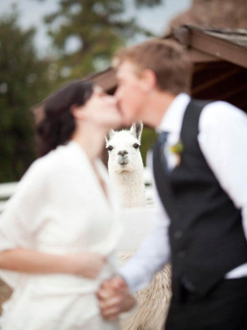 llama-photobombs-married-couple_goog.jpg