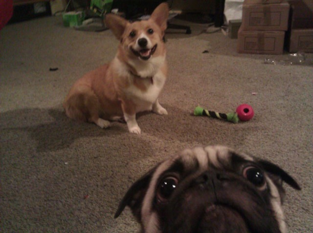 pug photobombs other dog_goog.jpg
