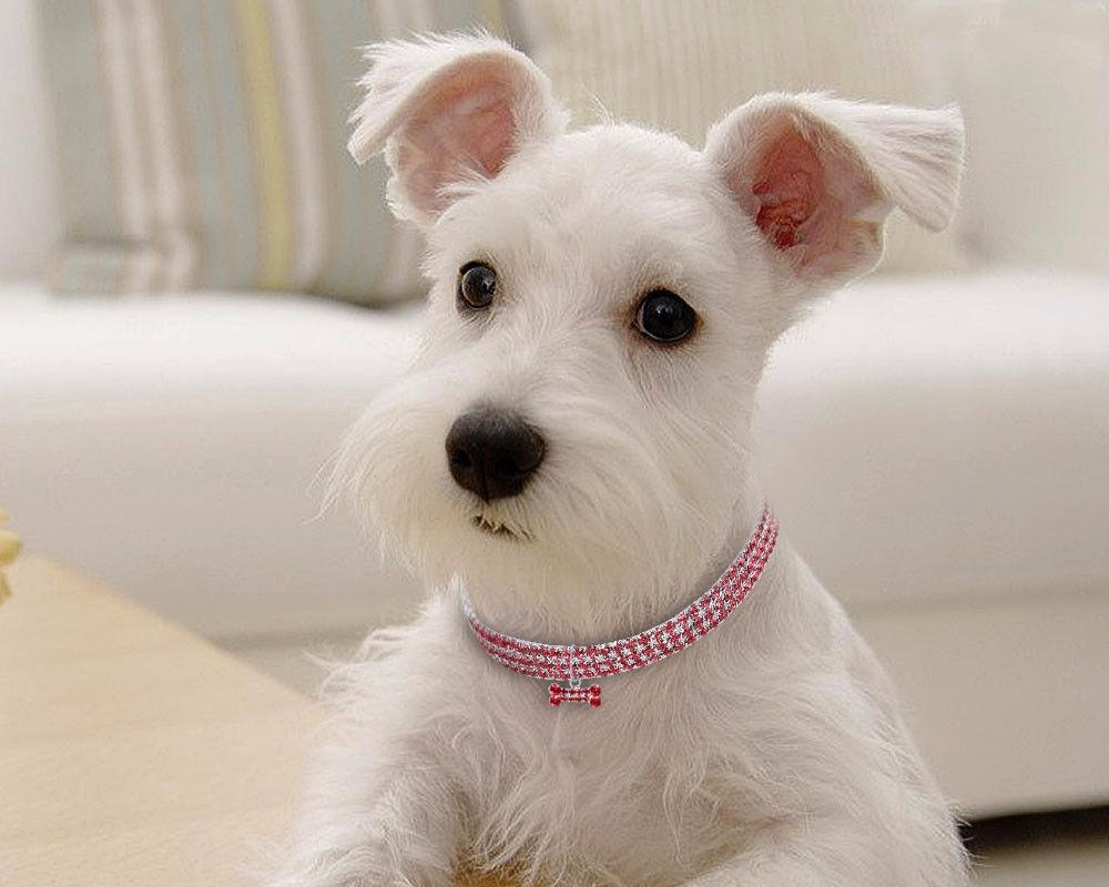 dog+with+diamond+collar_goog.jpg