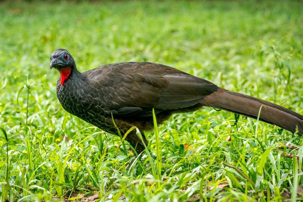 jacu bird.jpg
