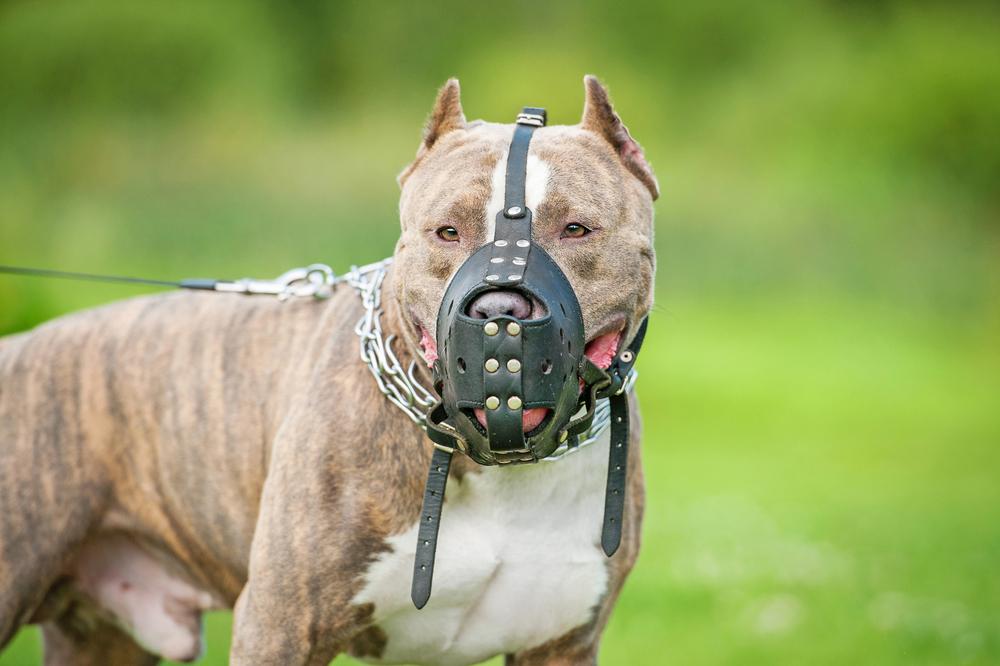 pit bull wearing a muzzle.jpg
