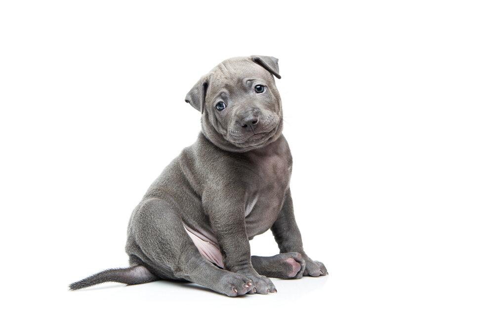 Thai ridgeback puppy.jpg