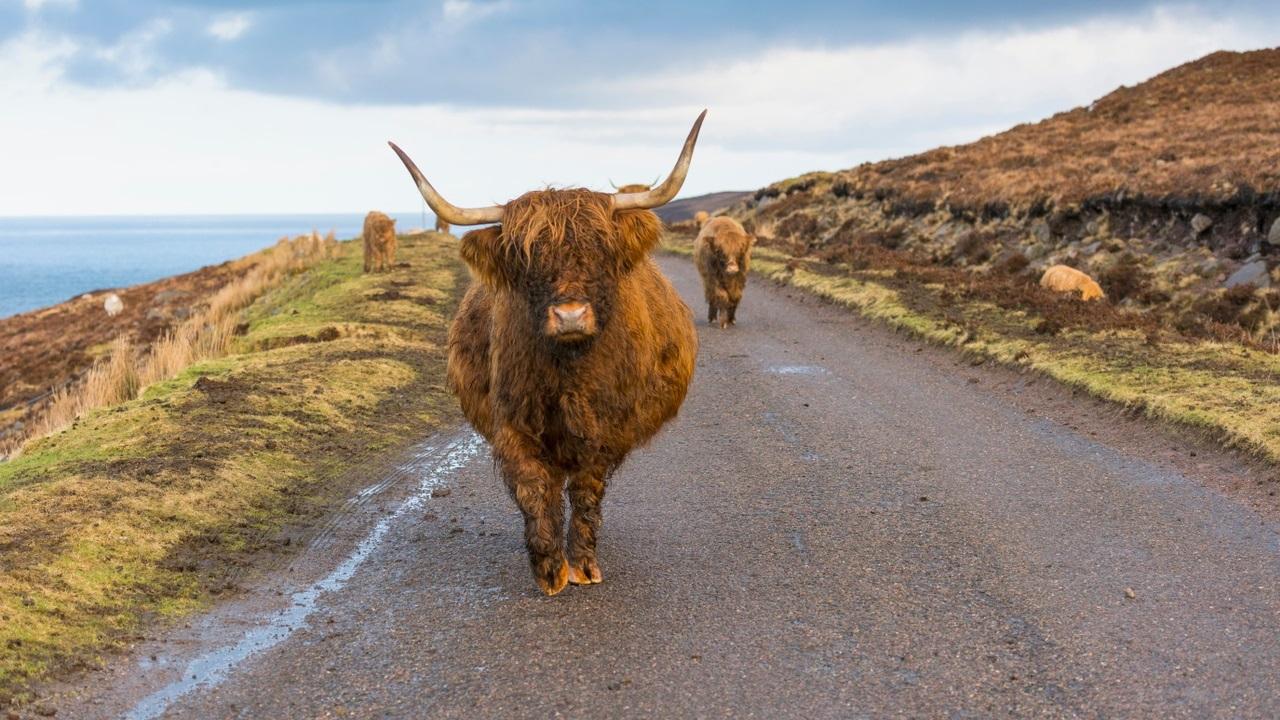 highland-cow-12-1.jpg
