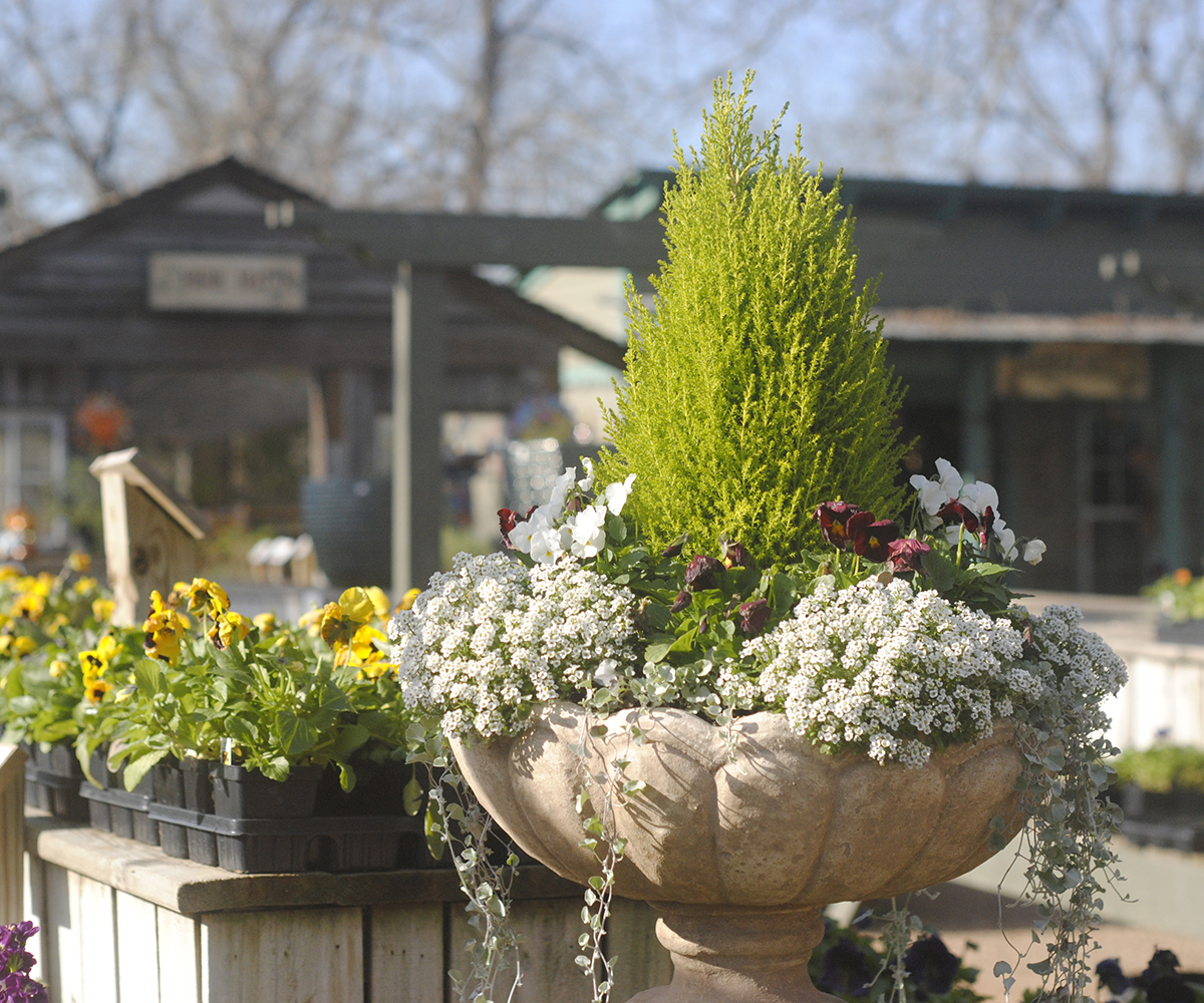 Picture above is a stone pot and pedestal at  Enchanted Forest  planted with cool season annuals—sweet alyssum and pansies—with a lemon cyprus as the centerpiece.