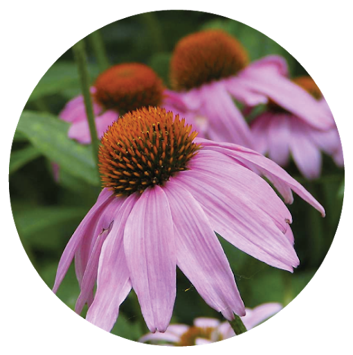 Cone Flower - These blooming perennials are great for pollinators and the colors they put out just radiate warmth!