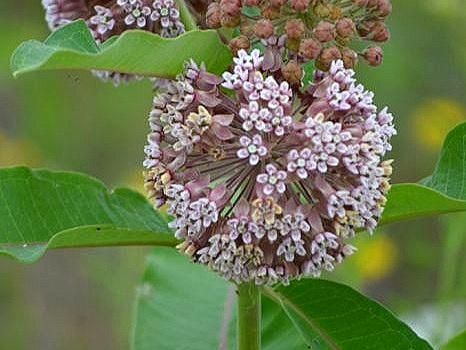 Common Milkweed - Sun Exposure: Full, PartialSoil Moisture: AnyHeight: 3 feetBloom Time/Color: Summer/Pink