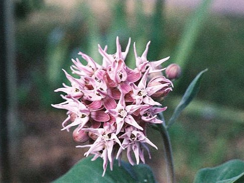 Showy Milkweed - Sun Exposure: FullSoil Moisture: Medium to DryHeight: 4 feet