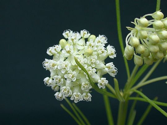 Whorled Milkweed - Sun Exposure: Full, PartialSoil Moisture: Medium to DryHeight: 2 feetBloom Time/Color: Early Fall/White