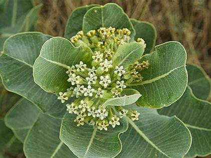 Western Sand Milkweed - Sun Exposure: FullSoil Moisture: DryHeight: 18 inchesBloom Time/Color: Summer/Green