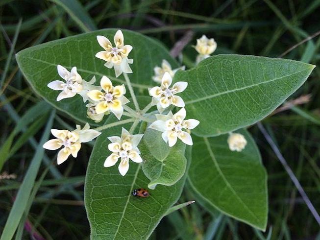 Oval-leaf Milkweed - Sun Exposure: FullSoil Moisture: DryHeight: 2 feetBloom Time/Color: Summer/Green