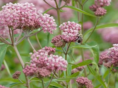 Rose milkweed - Sun Exposure: Full, PartialSoil Moisture: WetHeight: 4 feetBloom Time/Color: Late summer/Pink