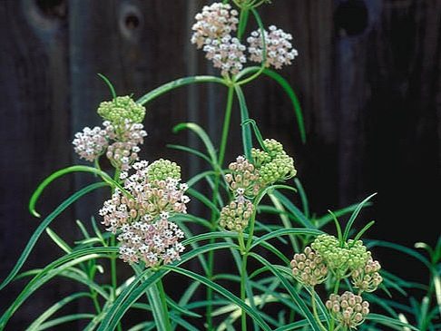 narrow-leaf milkweed - Sun Exposure: FullSoil Moisture: MediumHeight: 4 feetBloom Time/Color: Summer through Fall/Pink & White~Sold out