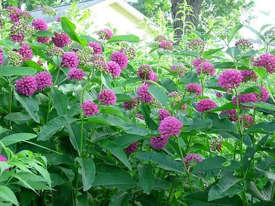 Purple Milkweed - Sun Exposure: Full, PartialSoil Moisture: Medium/ Well-drainedHeight: 3 feetBloom Time/Color: Summer/Purple~Sold out