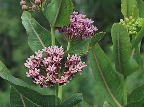 Prairie milkweed - Sun Exposure: FullSoil Moisture: Medium-wet, WetHeight: 3 feetBloom Time/Color: Late summer/Pink~Sold out