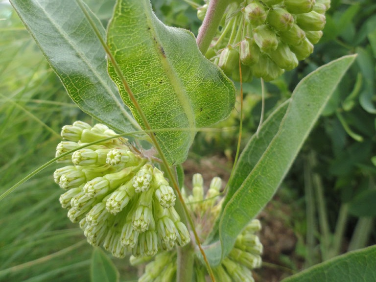 Short green milkweed - Sun Exposure: Full, PartialSoil Moisture: DryHeight: 12 inchesBloom Time/Color: Summer/Green~Sold out
