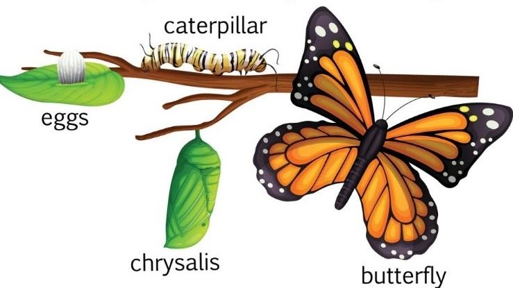 Monarch+lifecycle.jpg
