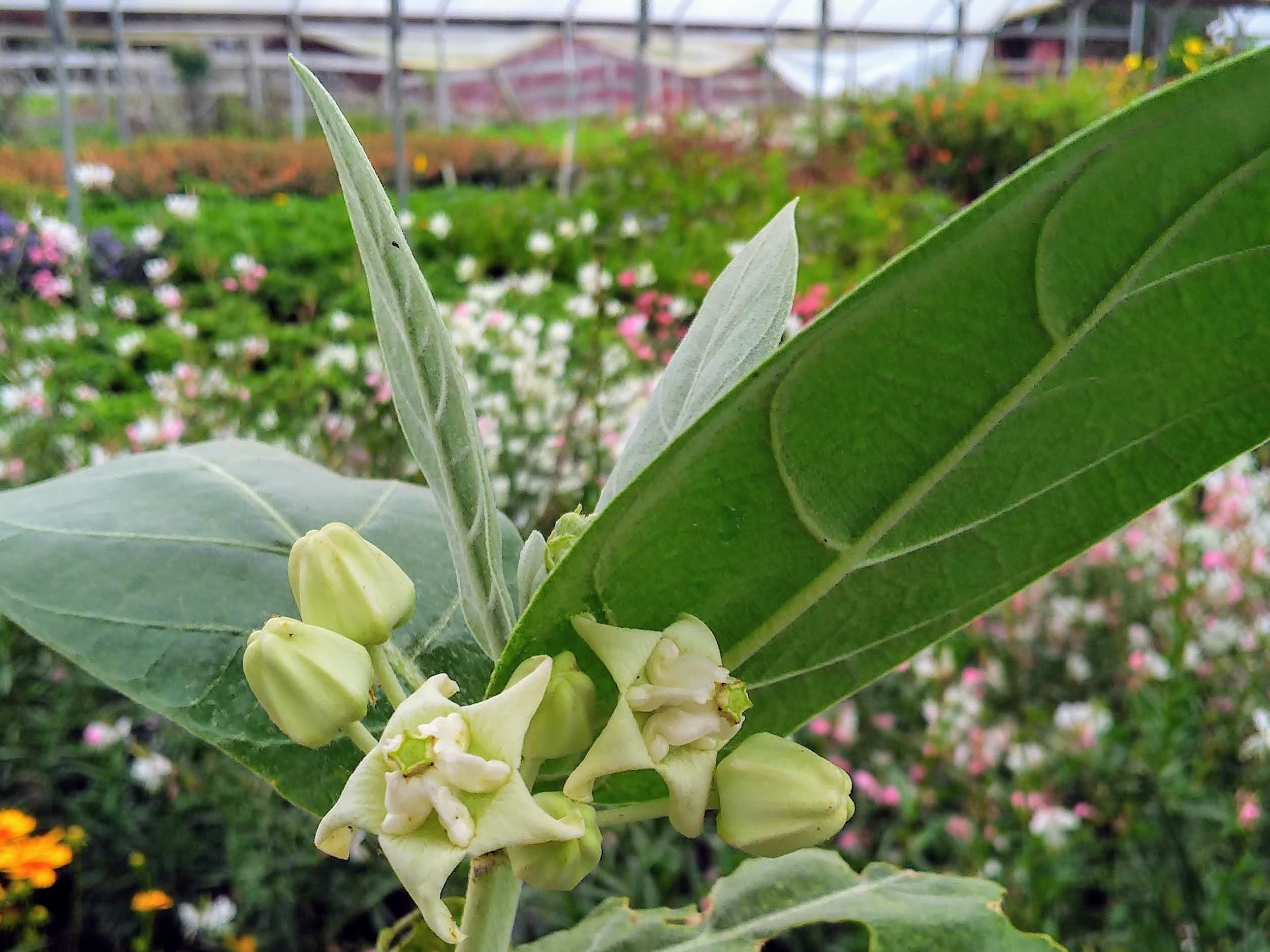 Giant Milkweed - Sun Exposure: FullSoil Moisture: Medium, drought tolerantHeight: 8–15 feetBloom Time/Color: Primarily Summer, but throughout the year/White