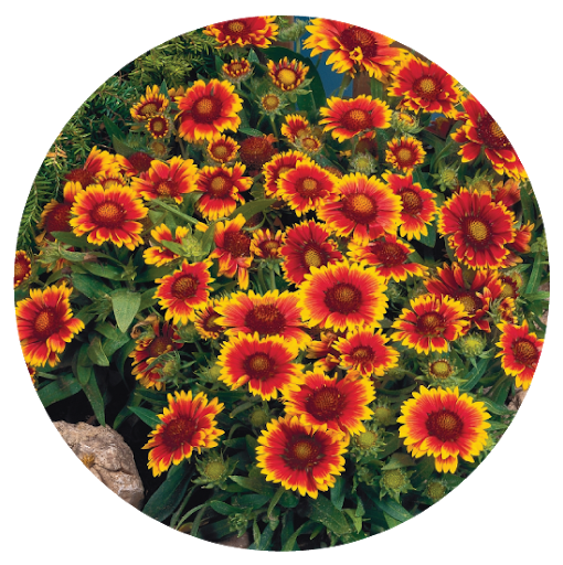 Gaillardia - Also known as the Blanket Flower, this comes in bright colors and blooms all summer. Plus it can tolerate some afternoon shade.