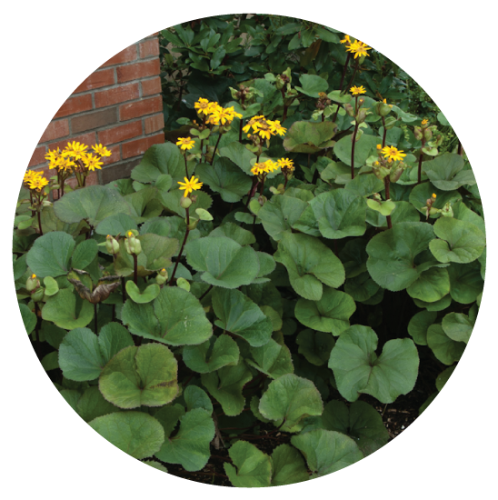 Ligularia, Giant - Its leaves have a unique and bold shape and it grows well in the shade. It has yellow, daisy-like flowers, but I would grow it even if it didn't bloom! Great space filler for those dark areas in your yard!
