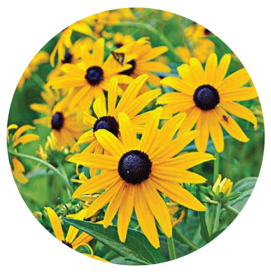 Rudbeckia, Goldsturm - The bright yellow flowers are large and showy and this plant just keeps showing them off all summer!