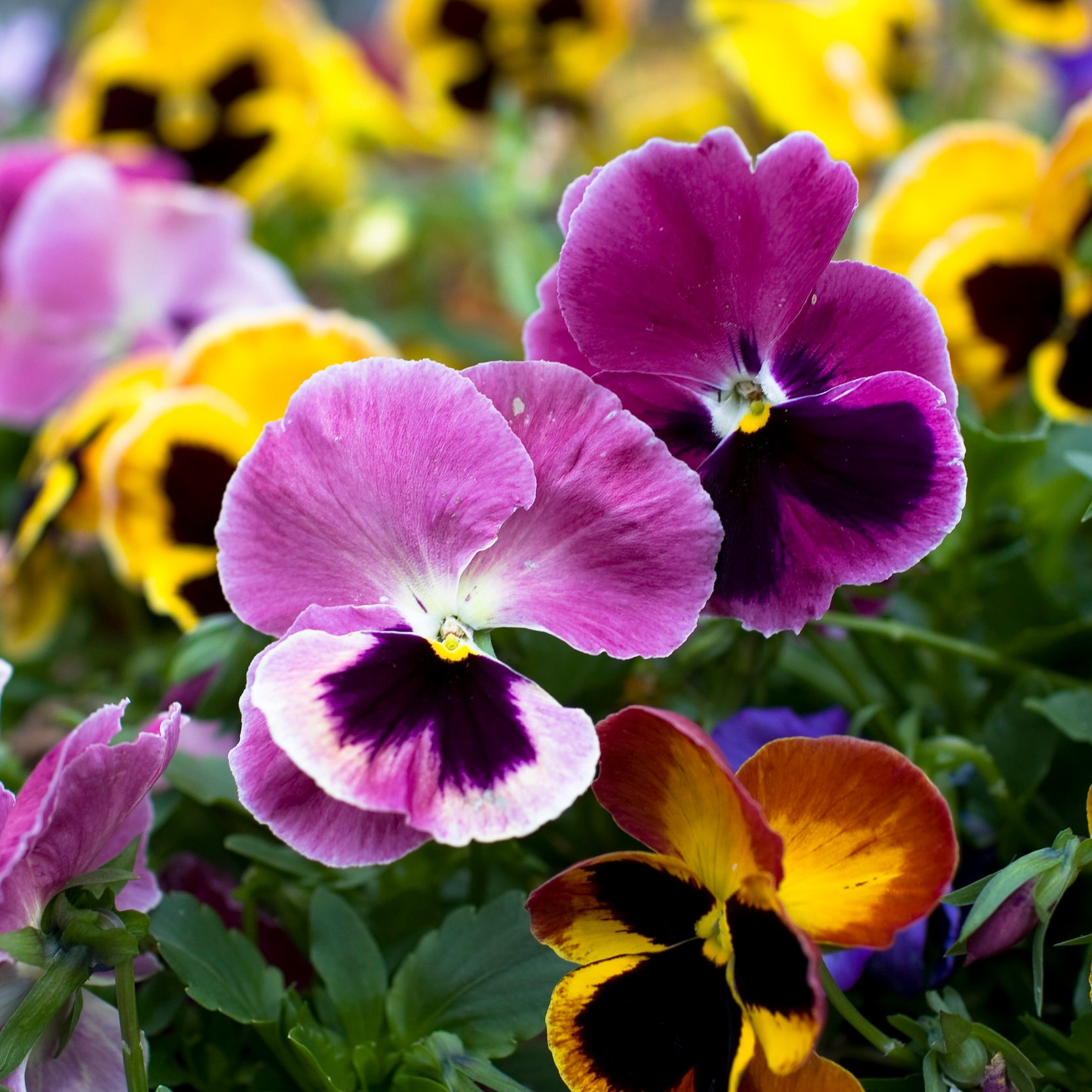 Pansies & Violas - Cool season annual;Pansies thrive in the winter in full sun and the whole flower is edible! Same with Violas, however they can tolerate much more shade and have potential to reseed. Every time we come home the girls go to the garden and pick a flower to eat.