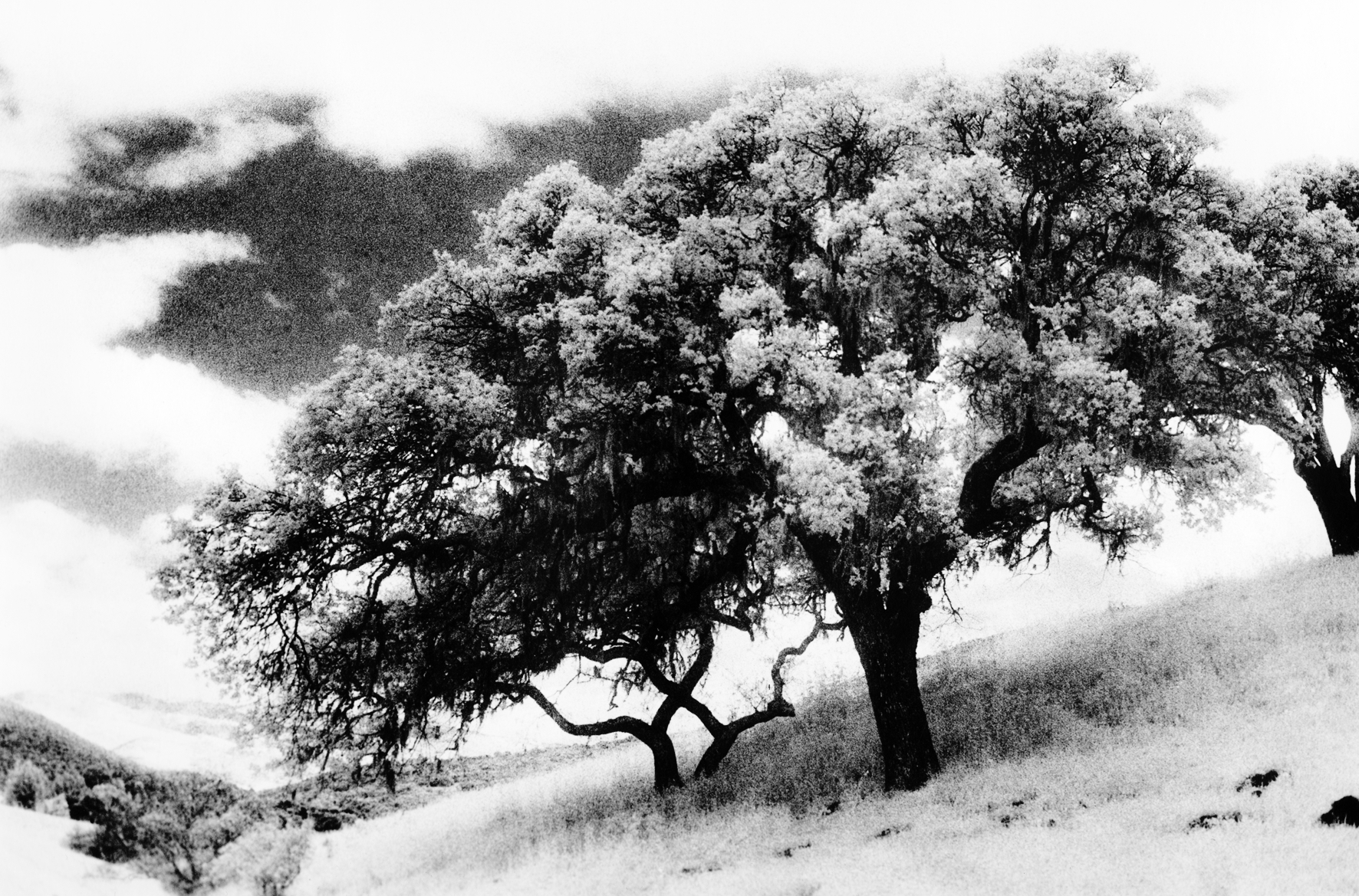 Carmel Valley Oak, 2000