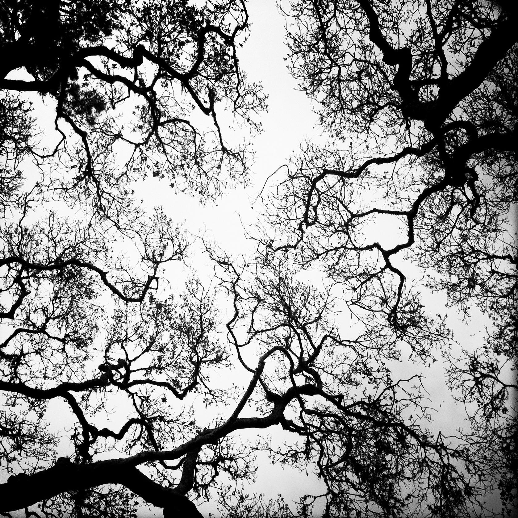 Oak Branches, 2012