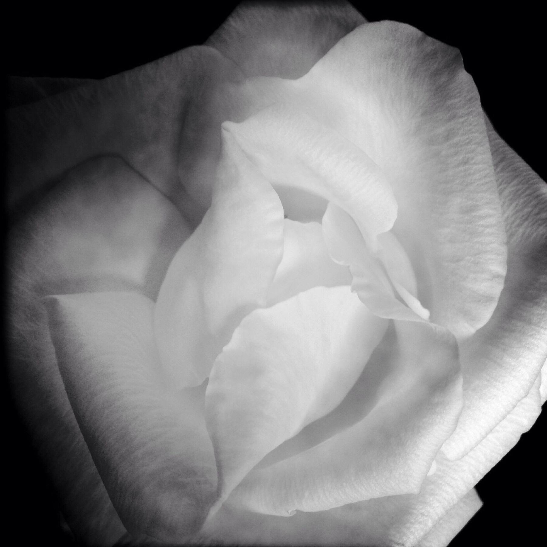 Soft Rose, 2014