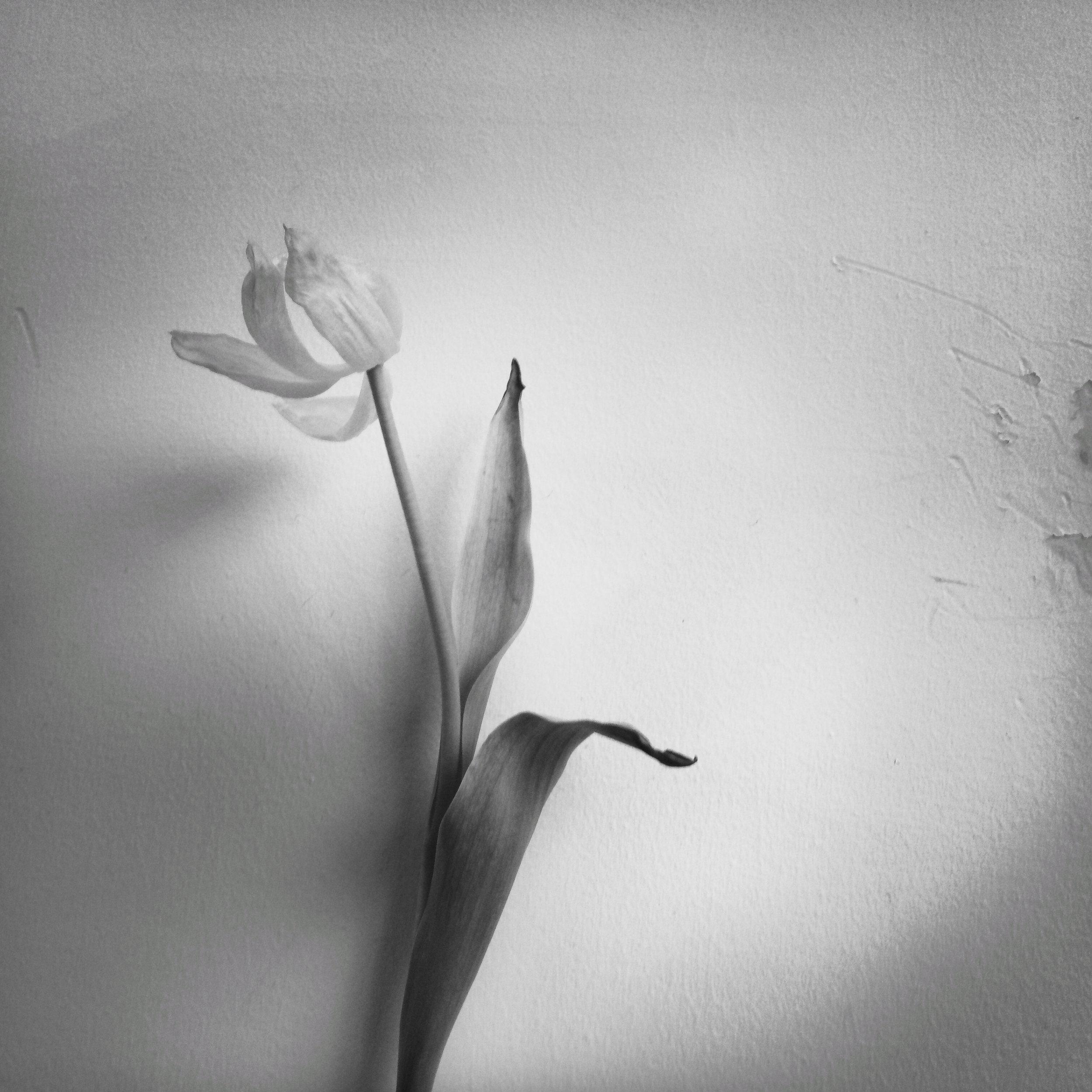 White Tulip, 2018